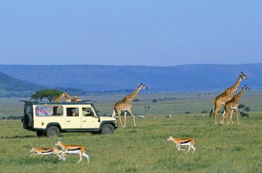 KEN2661 Watching Maasai giraffe on a game drive while on a safari holiday.