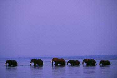ZAM6941 Herd of elephants cross the Zambezi River in line.