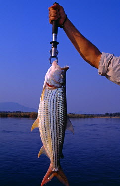 ZAM7250 Zambia, Lower Zambezi National Park. A fine tiger fish caught on the Zambezi River. (MR)