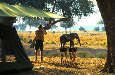 ZIM1701 Elephant by John Stevens' tented camp. (MR)