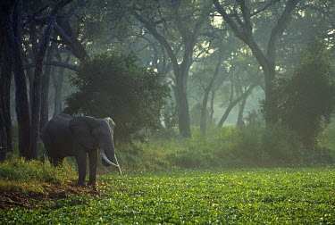 ZIM2132 Elephant in early morning mist feeding on water hyacinths