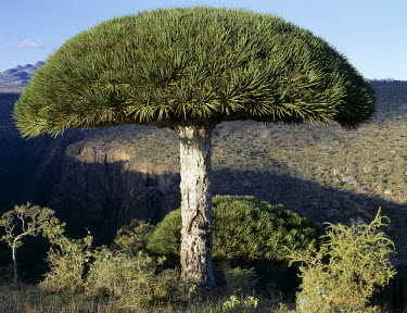 YEM0088 Umbrella-shaped Dragon's Blood Trees (Dracaene cannabari) are endemic to Socotra Island and flourish above 3,000 feet. Their closest relative is found the other side of the African continent in the Ca...