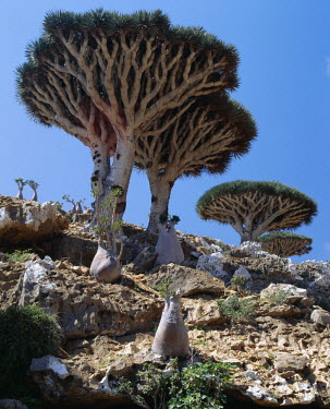 YEM0069 Endemic Dragon's Blood Trees (Dracaene cannabari) grow among Socotran Desert Roses (Adenium obesum sokotranum) in the Homhil Mountains. The closest relative of the Dragon's Blood Tree is found the oth...