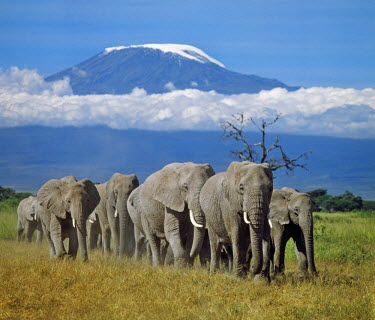 KEN4250 A herd of elephants with Mount Kilimanjaro in the background.