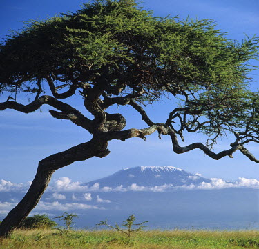 KEN4245 Framed by an Acacia tortilis, Mount Kilimanjaro is Africa's highest snow-capped mountain at 19,340 feet above sea level.