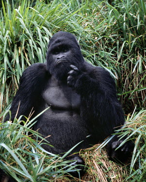 DRC1012 The beautiful montane forest ecosystem of the Virunga Volcanoes is the habitat of one of nature's rarest large mammals, the mountain gorilla (Gorilla gorilla beringei), which lives in forests between...