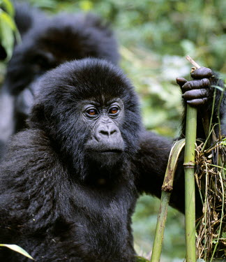 DRC1006 The beautiful montane forest ecosystem of the Virunga Volcanoes is the habitat of one of nature's rarest large mammals, the mountain gorilla (Gorilla gorilla beringei), which lives in forests between...