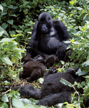 DRC1004 The beautiful montane forest ecosystem of the Virunga Volcanoes is the habitat of one of nature's rarest large mammals, the mountain gorilla (Gorilla gorilla beringei), which lives in forests between...