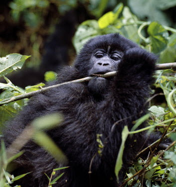 DRC1003 The beautiful montane forest ecosystem of the Virunga Volcanoes is the habitat of one of nature's rarest large mammals, the mountain gorilla (Gorilla gorilla beringei), which lives in forests between...