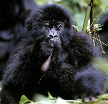 DRC1002 The beautiful montane forest ecosystem of the Virunga Volcanoes is the habitat of one of nature's rarest large mammals, the mountain gorilla (Gorilla gorilla beringei), which lives in forests between...