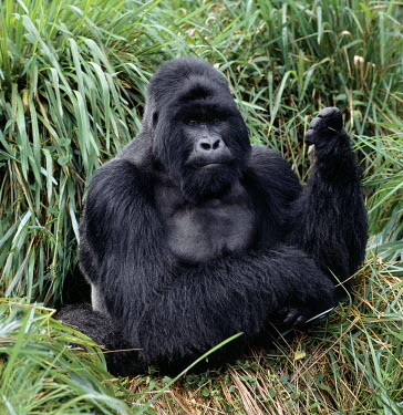 DRC1001 The beautiful montane forest ecosystem of the Virunga Volcanoes is the habitat of one of nature's rarest large mammals, the mountain gorilla (Gorilla gorilla beringei), which lives in forests between...