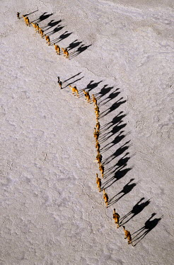 DJI1001 An Afar camel caravan crossing the salt flats of Lake Assal, Djibouti as shadows lengthen in the late afternoon.At 509 feet below sea level, Lake Assal is the lowest place in Africa.  Because of extr...