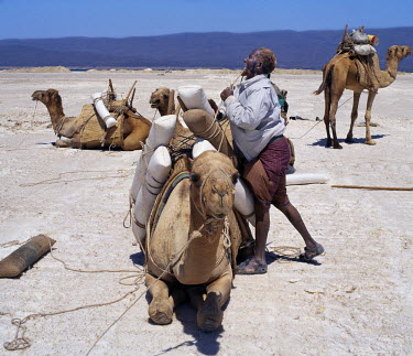 DJI1016 A Somali of the Issa clan loads his camels with salt at Lake Assal. He has rubbed henna into his hair and beard to make them orange-red. At 509 feet below sea level, Lake Assal is the lowest place in...
