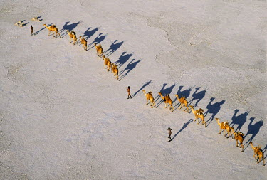 DJI1002 An Afar camel caravan crosses the salt flats of Lake Assal, Djibouti, as shadows lengthen in the late afternoon sun.  At 509 feet below sea level, Lake Assal is the lowest place in Africa. Extremely h...
