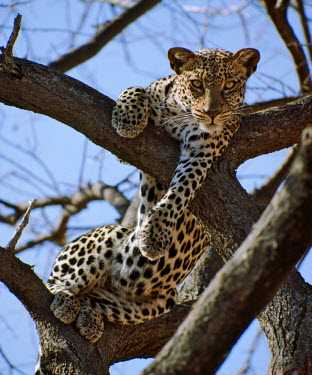 KEN4354 A leopard gazes intently from a comfortable perch in a tree in Samburu National Reserve.