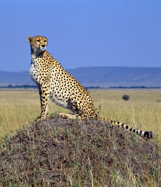 KEN4658 A cheetah surveys the grassy plains of Masai Mara from a termite mound. The cheetah is a fast, efficient and frequent killer of gazelles and impala. .
