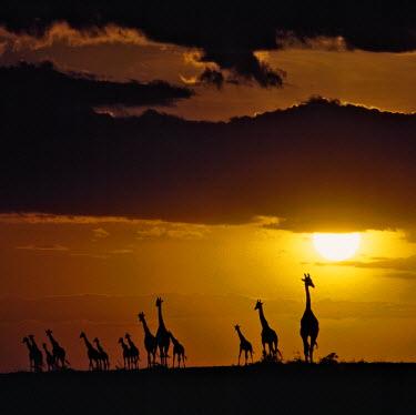 KEN5193 A herd of Masai giraffes at sunset in the Masai Mara National Reserve.