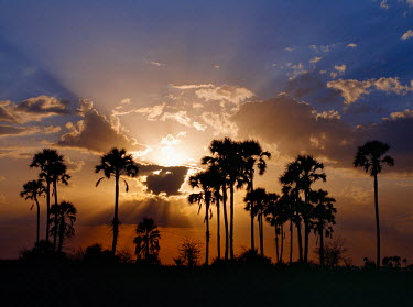 BOT2138 Sunset on the edge of the Ntwetwe saltpan where moklowane or African fan palms grow in profusion. Ntwetwe is the western of two huge saltpans, which comprise the immense Makgadikgadi region of the Nor...