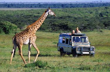 KEN2674 Watching Maasai giraffe on a game drive on a safari holiday.