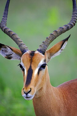 A male Black Faced Impala (Aepyceros melampus petersi) in Etosha National Park. Although a sub-species of the common impala which are found all over southern Africa, only 1000 black faced impala remai...