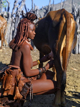 NAM3550 A Himba woman milks a cow in the stock enclosure close to her home. Traditional milk containers made from hollowed wood are preferred to their modern equivalents. The bodies of Himba women gleam from...