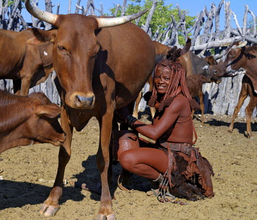 NAM3548 A Himba woman milks a cow in the stock enclosure close to her home. Traditional milk containers made from hollowed wood are preferred to their modern equivalents. The bodies of Himba women gleam from...