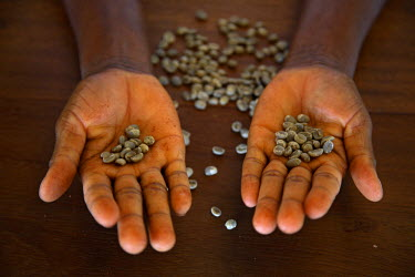 SAO1101 A worker from the plantation 'Roca Nova Moka' in Sao Tom� and  shows us some coffee beans. The plantation is 12 hectares in size, but was once part of the much larger plantation 'Monte Cafe'. It lies...
