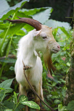 SAO1061 A goat in Sao Tom� and Princip�. Sao Tom� and Princip� is Africa's second smallest country with a population of 193 000. It consists of two mountainous islands in the Gulf of New Guinea, straddling th...