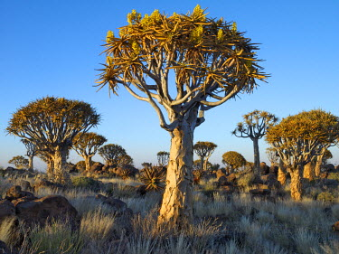 NAM3633 Quivertrees in a forest, close to the Southern Kalahari.The quivertree, Aloe dichotoma, (also known as 'Kokerboomwoud') thrives on steep, rocky slopes over a large area of southern Namibia and t...