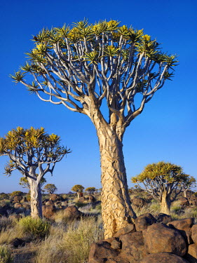 NAM3630 Quivertrees in a forest, close to the Southern Kalahari.-ent-B;The quivertree, Aloe dichotoma, (also known as 'Kokerboomwoud') thrives on steep, rocky slopes over a large area of southern Namibia and...
