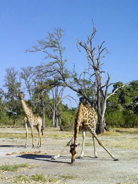 BOT2232 A giraffe licks salt near the Kwai River on the northeast corner of the Moremi Game Reserve.