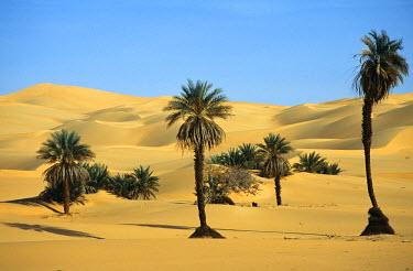 LIB1146 Palm trees in the Idehan Ubari, Wadi al-Hyat, Libya (Ubari Sand Sea also known as the Ramlat Dawada). Underground water tables allow palms to flourish without irrigation in the desert.
