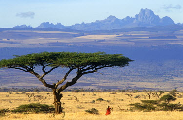 KEN3680 Maasai moran (warrior) framed by an acacia tortilis tree with Mt. Kenya, 17,050 ft behind, Lewa Downs, Kenya