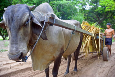 BRA0250 Bullock cart bringing sugar cane into Jamaraqua village in the Amazon Region of Brazil