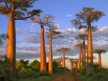 MAD0493 The Avenue of Baobabs at sunrise. Named Adansonia grandidieri after the French botanist and explorer, Alfred Grandidier, these baobabs are the grandest and most famous of Madagascar's six endemic spec...