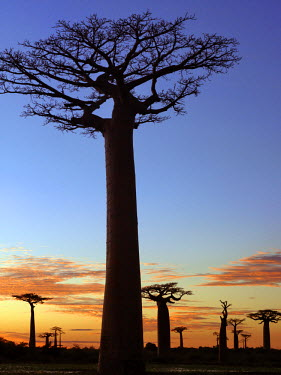 MAD0491 The Avenue of Baobabs at sunrise. Named Adansonia grandidieri after the French botanist and explorer, Alfred Grandidier, these baobabs are the grandest and most famous of Madagascar's six endemic spec...