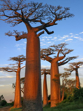 MAD0490 The Avenue of Baobabs at sunrise. Named Adansonia grandidieri after the French botanist and explorer, Alfred Grandidier, these baobabs are the grandest and most famous of Madagascar's six endemic spec...