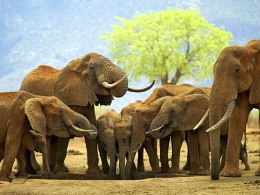 KEN5521 A herd of elephants drinking at a waterhole in Tsavo West National Park, Kenya