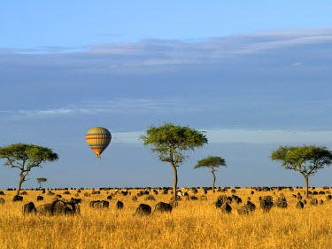 KEN5475 A hot air balloon floating over herds of wildebeest and zebra in the Masai Mara Game Reserve.
