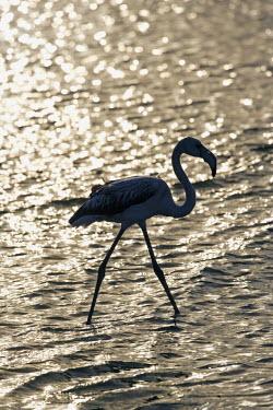 NAM3817 Namibia, Erongo Region, Walvis Bay. In the lagoon, Greater Flamingos (Phoenicopterus roseus) wade through the silt on this internationally acclaimed Ramsar Site of International Importance stirring up...