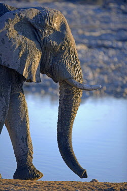 NAM3814 Africa, Namibia, Etosha National Park.  A large male elephant (Loxodonta africana) drinks from one of the park maintained water holes near the park accommadation area at Okaukuejo, the parks oldest lo...