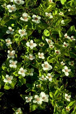 USA7568 USA, Alaska. Dwarf Dogwood blooms in the sub-arctic region of Alaska.