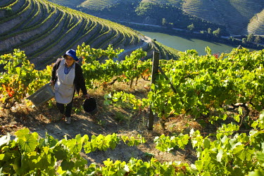Portugal, Douro Valley, Pinhao. A Portuguese woman picks grapes during the september wine harvest in Northern Portugal in the renowned Douro valley. The valley was the first demarcated and controlled...