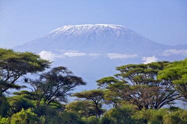 KEN5632 Kenya, Amboseli, Amboseli National Park. Majestic Mount Kilimanjaro towering above large acacia trees (Acacia tortilis) in Amboseli National Park.