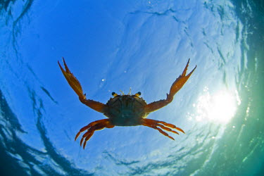 DJI1055 Djibouti. A Red Swimming Crab (Charybdis erythrodactyla) swims in the Indian Ocean.