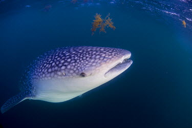DJI1056 Djibouti, Bay of Tadjourah. A Whale Shark (Rhincodon typus)  swims near the surface in the Bay of Tadjourah.