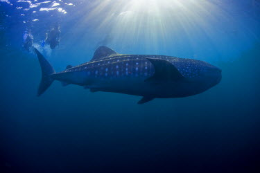DJI1066 Djibouti, Bay of Tadjourah. A Whale Shark (Rhincodon typus)  swims near the surface in the Bay of Tadjourah.