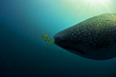 DJI1067 Djibouti, Bay of Tadjourah. A Whale Shark (Rhincodon typus)  swims near the surface in the Bay of Tadjourah accompanied by juvenile fish (golden trevally)