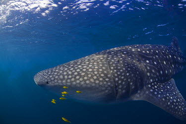 DJI1073 Djibouti, Bay of Tadjourah. A Whale Shark (Rhincodon typus)  swims near the surface in the Bay of Tadjourah.