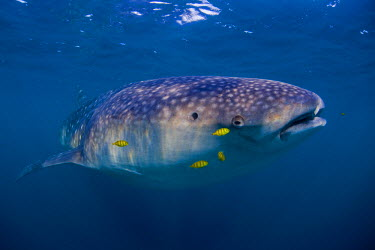 DJI1075 Djibouti, Bay of Tadjourah. A Whale Shark (Rhincodon typus)  swims near the surface in the Bay of Tadjourah.